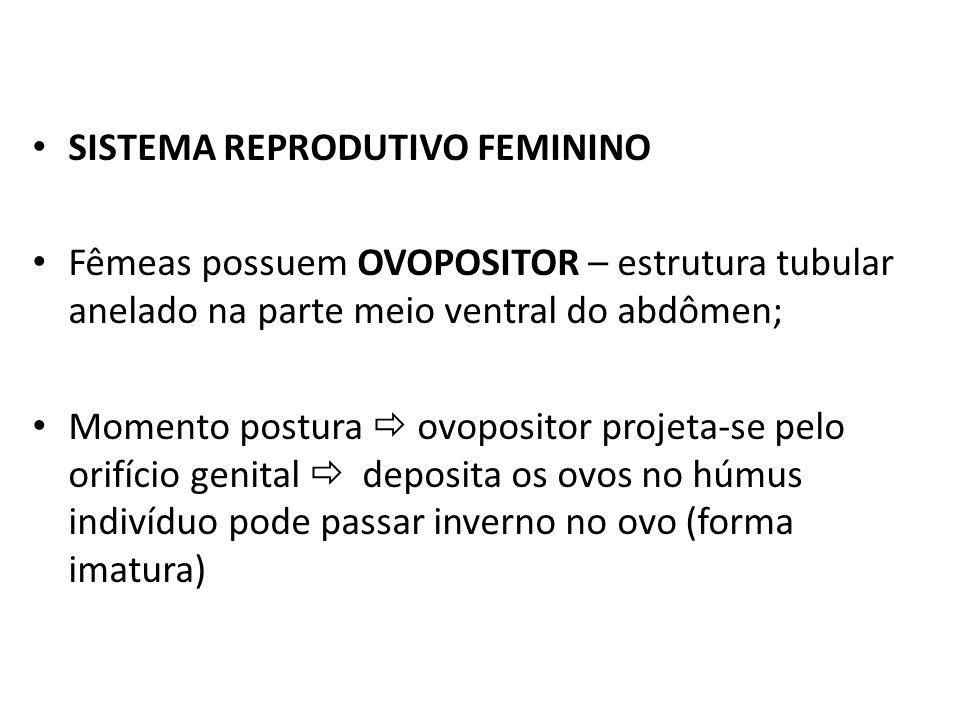 SISTEMA REPRODUTIVO FEMININO Fêmeas possuem OVOPOSITOR – estrutura tubular anelado na parte meio ventral do abdômen; Momento postura ovopositor projet
