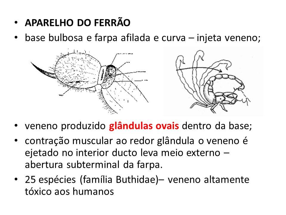 APARELHO DO FERRÃO base bulbosa e farpa afilada e curva – injeta veneno; veneno produzido glândulas ovais dentro da base; contração muscular ao redor