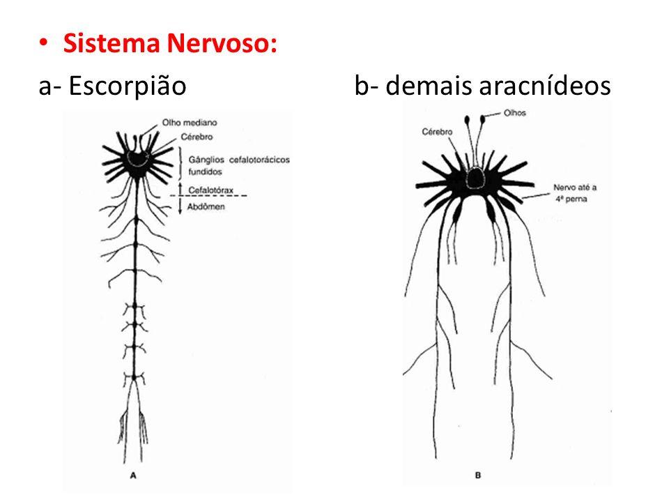 Sistema Nervoso: a- Escorpião b- demais aracnídeos
