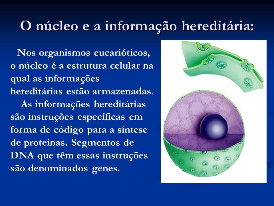 O núcleo e a informação hereditária: Nos organismos eucarióticos, o núcleo é a estrutura celular na qual as informações hereditárias estão armazenadas