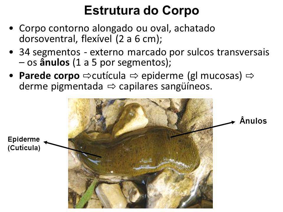 Sistema Reprodutor Monóicos; Desenvolvimento direto Macho: 4 -12 pares testículos; ducto deferente; pênis (gl acessórias); pênis dentro poro genital (segmento X).