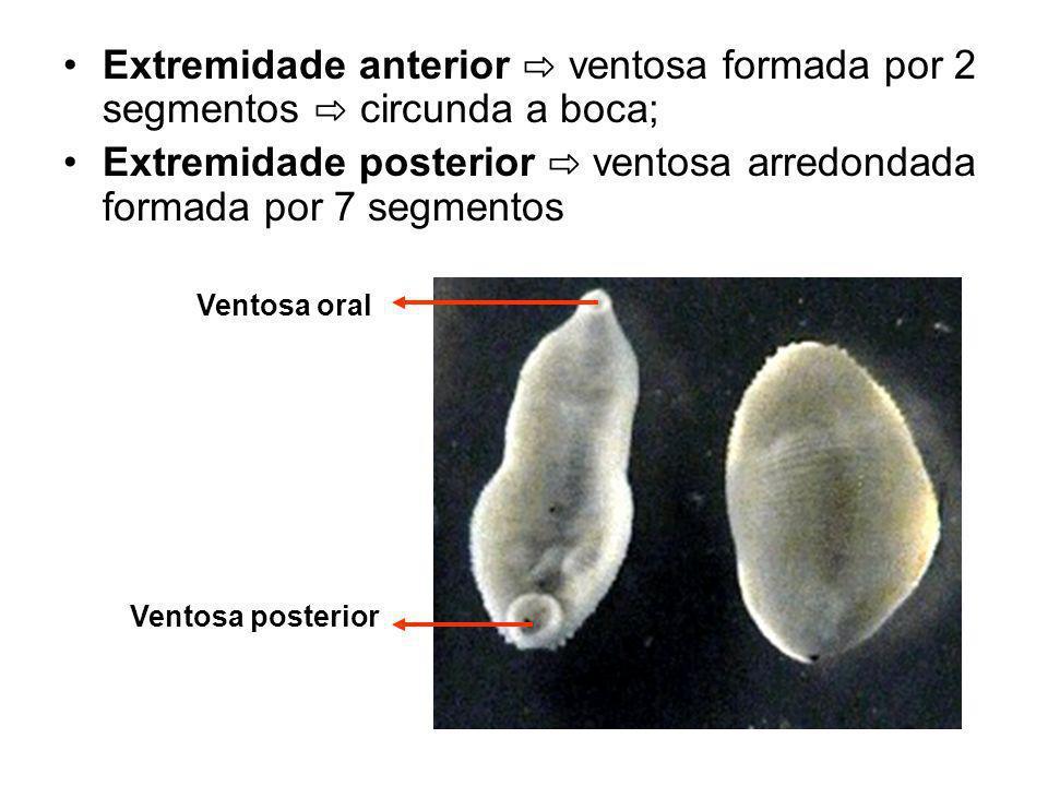 Corpo divisível em cinco regiões: Região mais anterior – cabeça composta por prostômio muito reduzido e segmentos anteriores do corpo; Região anterior geralmente porta uma série de olhos e uma boca ventral circundada por ventosa.