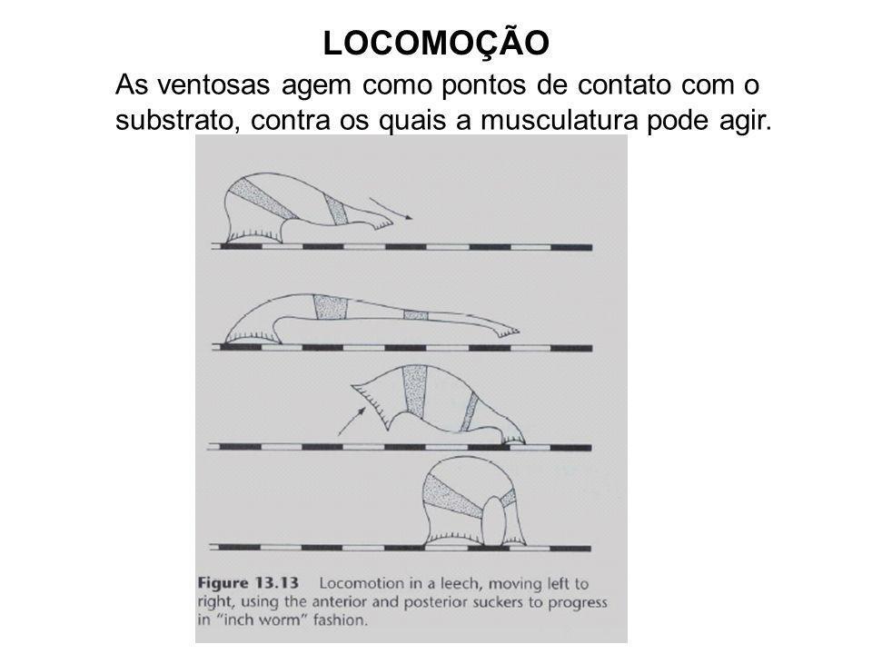 Sistema Muscular Músculos circulares, longitudinais, oblíquos e faixa de fibras dorsoventrais;