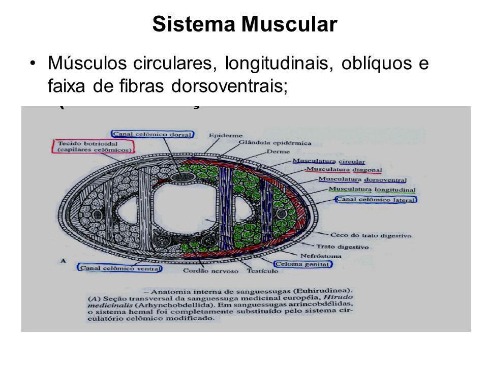 Septos desaparecem = celoma preenchido por tecido conjuntivo (mesênquima) e sistema de espaços = LACUNAS.