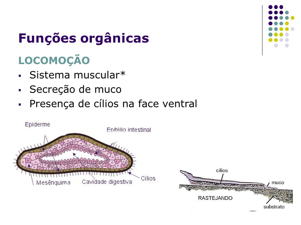 Funções orgânicas LOCOMOÇÃO Sistema muscular* Secreção de muco Presença de cílios na face ventral