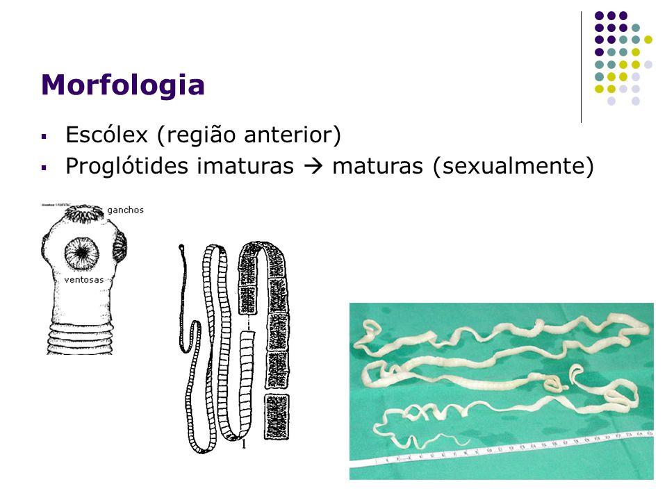Escólex (região anterior) Proglótides imaturas maturas (sexualmente)