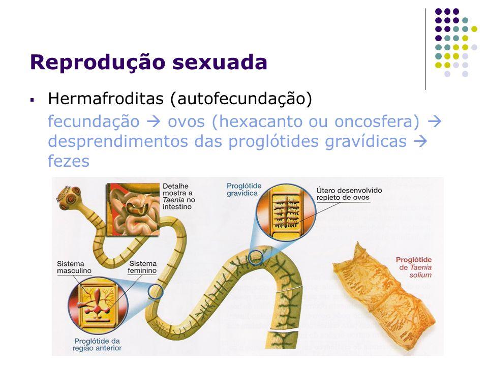 Reprodução sexuada Hermafroditas (autofecundação) fecundação ovos (hexacanto ou oncosfera) desprendimentos das proglótides gravídicas fezes
