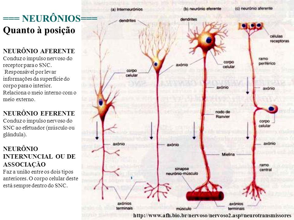 10 http://www.afh.bio.br/nervoso/nervoso2.asp#neurotransmissores === NEURÔNIOS=== NEURÔNIO AFERENTE Conduz o impulso nervoso do receptor para o SNC. R