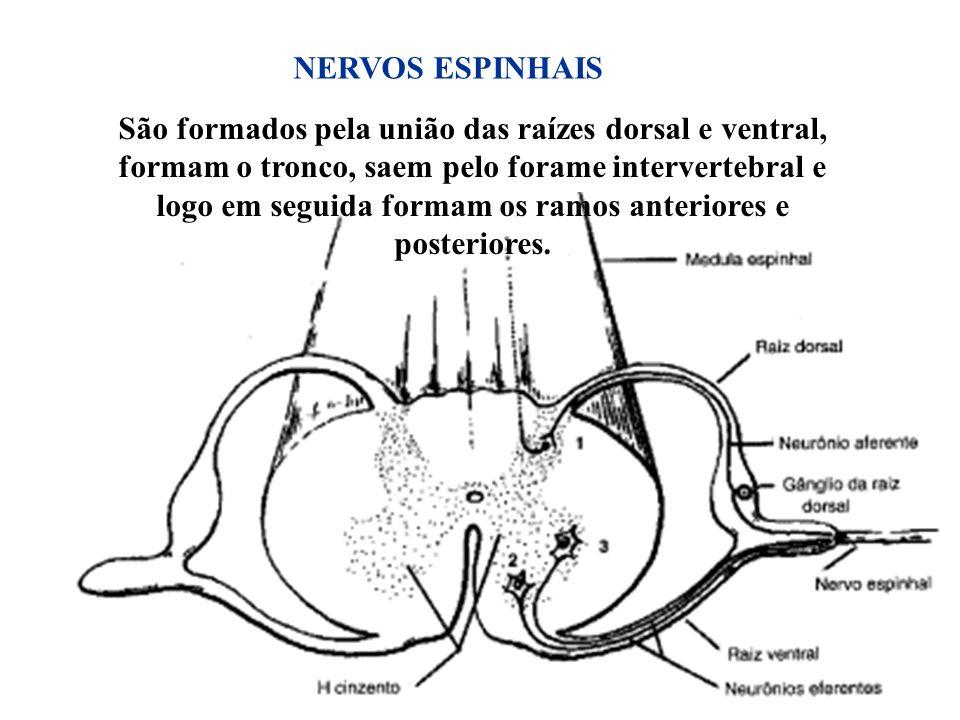 22 São formados pela união das raízes dorsal e ventral, formam o tronco, saem pelo forame intervertebral e logo em seguida formam os ramos anteriores