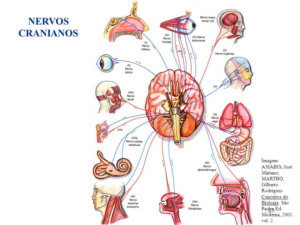 25 Imagem: AMABIS, José Mariano; MARTHO, Gilberto Rodrigues. Conceitos de Biologia. São Paulo, Ed. Moderna, 2001. vol. 2. NERVOS CRANIANOS