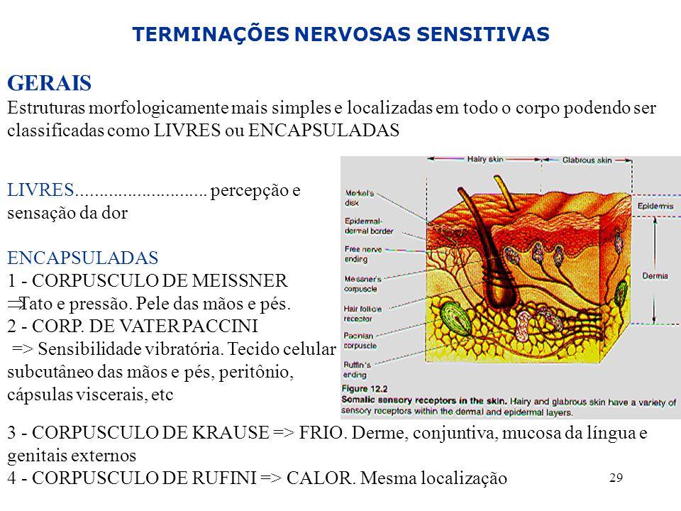 29 TERMINAÇÕES NERVOSAS SENSITIVAS GERAIS Estruturas morfologicamente mais simples e localizadas em todo o corpo podendo ser classificadas como LIVRES