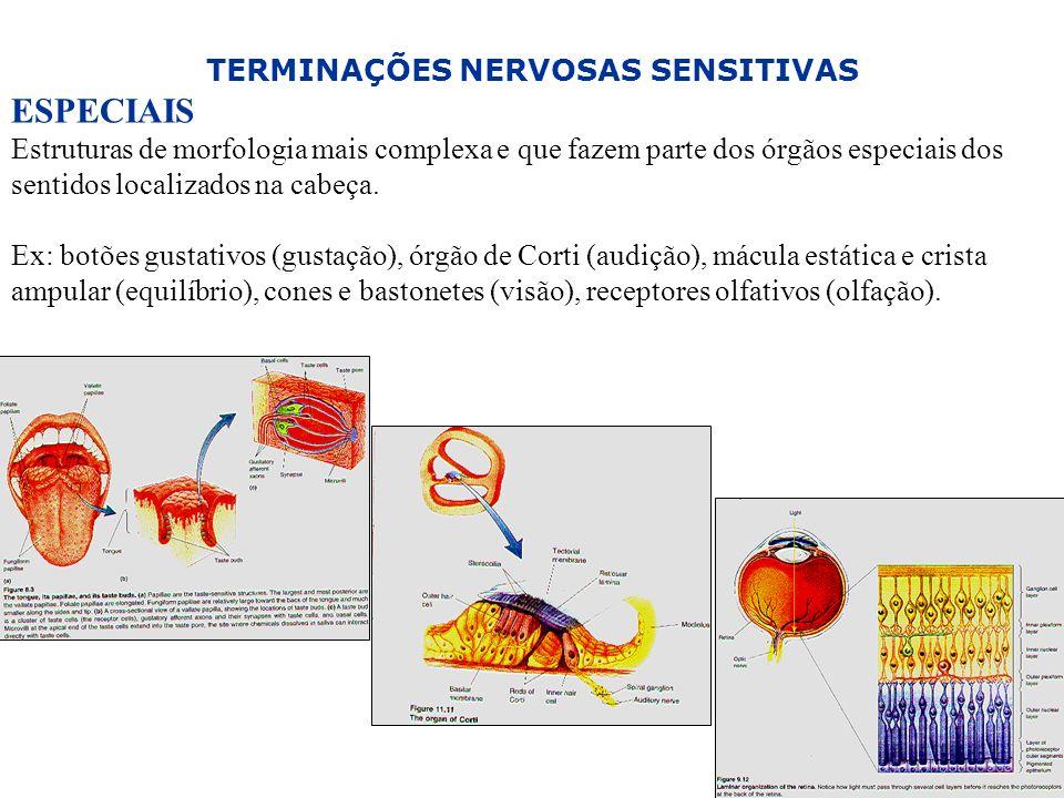 30 TERMINAÇÕES NERVOSAS SENSITIVAS ESPECIAIS Estruturas de morfologia mais complexa e que fazem parte dos órgãos especiais dos sentidos localizados na