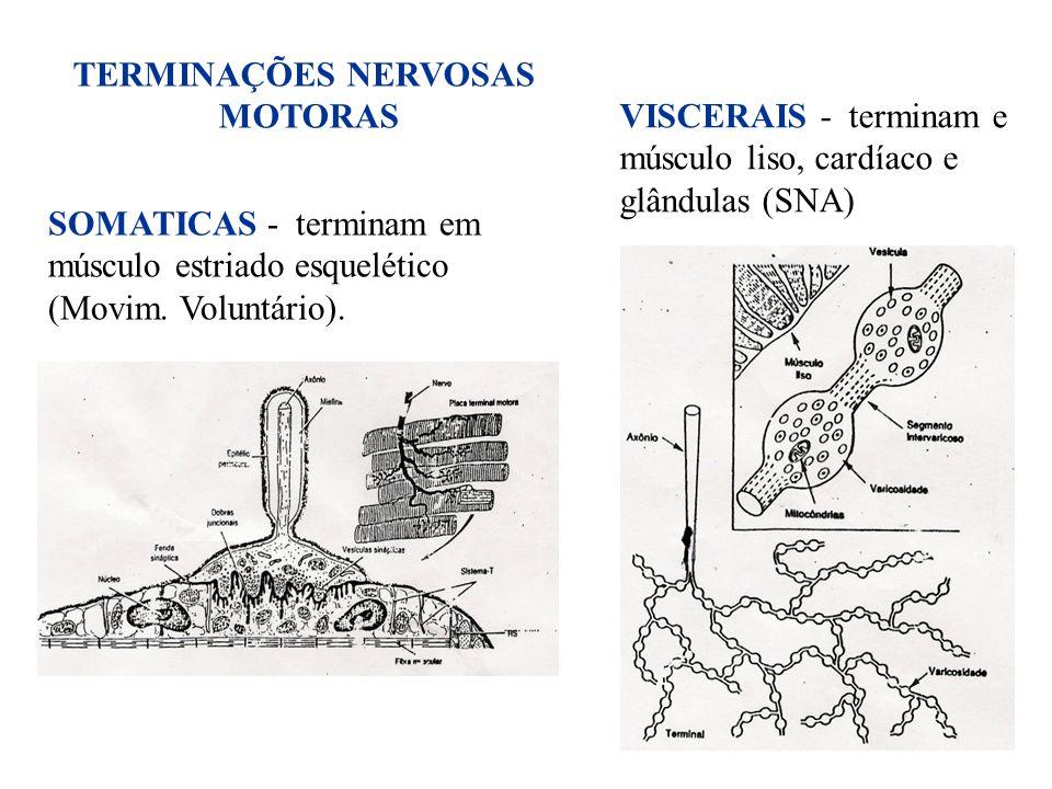31 SOMATICAS - terminam em músculo estriado esquelético (Movim. Voluntário). TERMINAÇÕES NERVOSAS MOTORAS VISCERAIS - terminam e músculo liso, cardíac