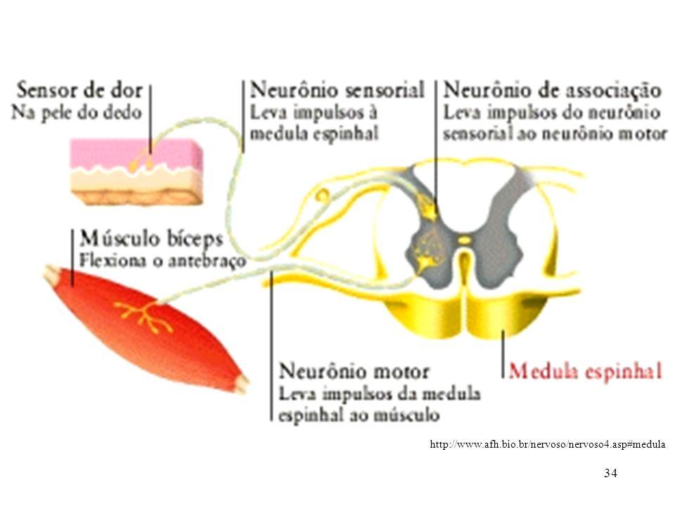 34 http://www.afh.bio.br/nervoso/nervoso4.asp#medula