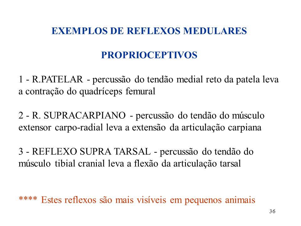36 EXEMPLOS DE REFLEXOS MEDULARES PROPRIOCEPTIVOS 1 - R.PATELAR - percussão do tendão medial reto da patela leva a contração do quadríceps femural 2 -