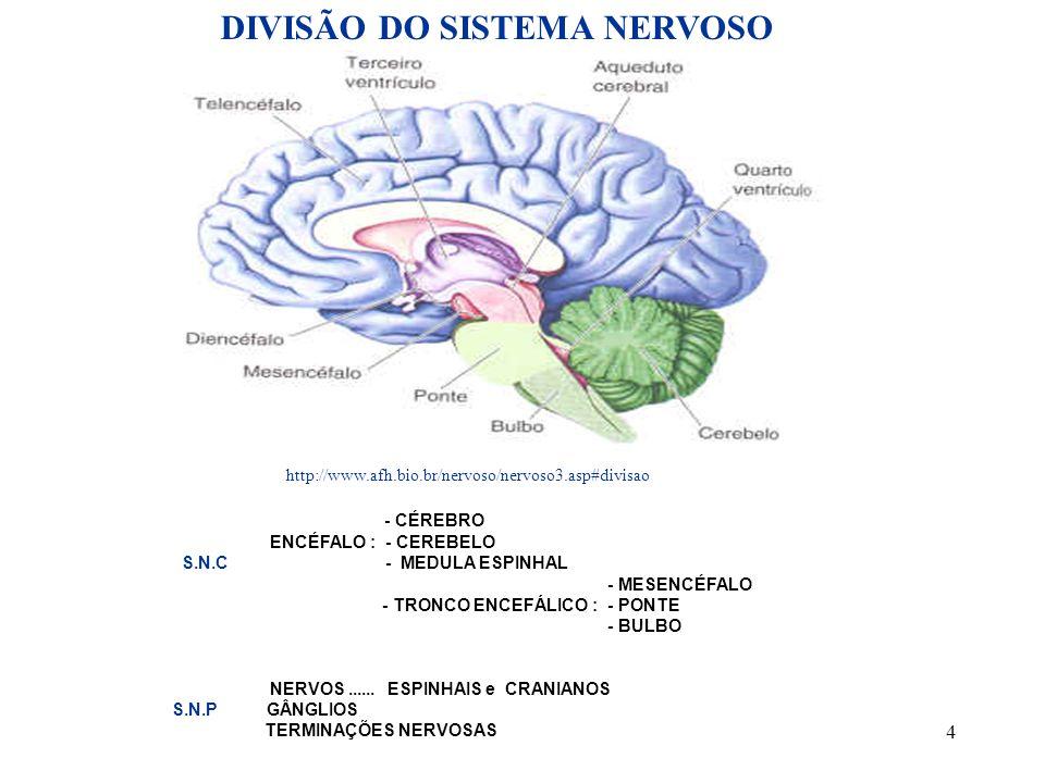 4 - CÉREBRO ENCÉFALO : - CEREBELO S.N.C - MEDULA ESPINHAL - MESENCÉFALO - TRONCO ENCEFÁLICO : - PONTE - BULBO NERVOS...... ESPINHAIS e CRANIANOS S.N.P