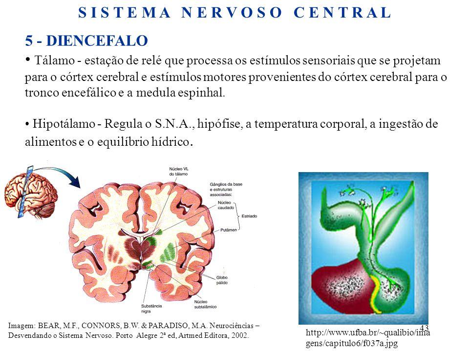 43 5 - DIENCEFALO Tálamo - estação de relé que processa os estímulos sensoriais que se projetam para o córtex cerebral e estímulos motores proveniente