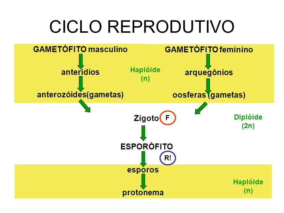 CICLO REPRODUTIVO GAMETÓFITO masculino anterídios anterozóides(gametas) GAMETÓFITO feminino arquegônios oosferas (gametas) Zigoto ESPORÓFITO esporos p