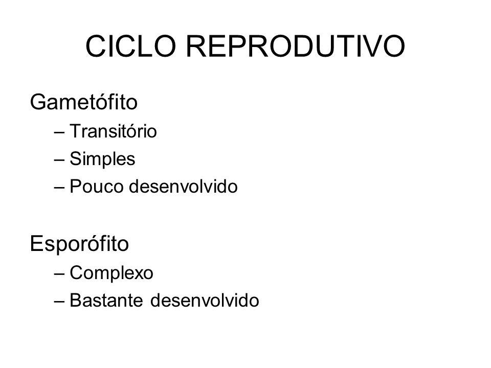 CICLO REPRODUTIVO Gametófito –Transitório –Simples –Pouco desenvolvido Esporófito –Complexo –Bastante desenvolvido