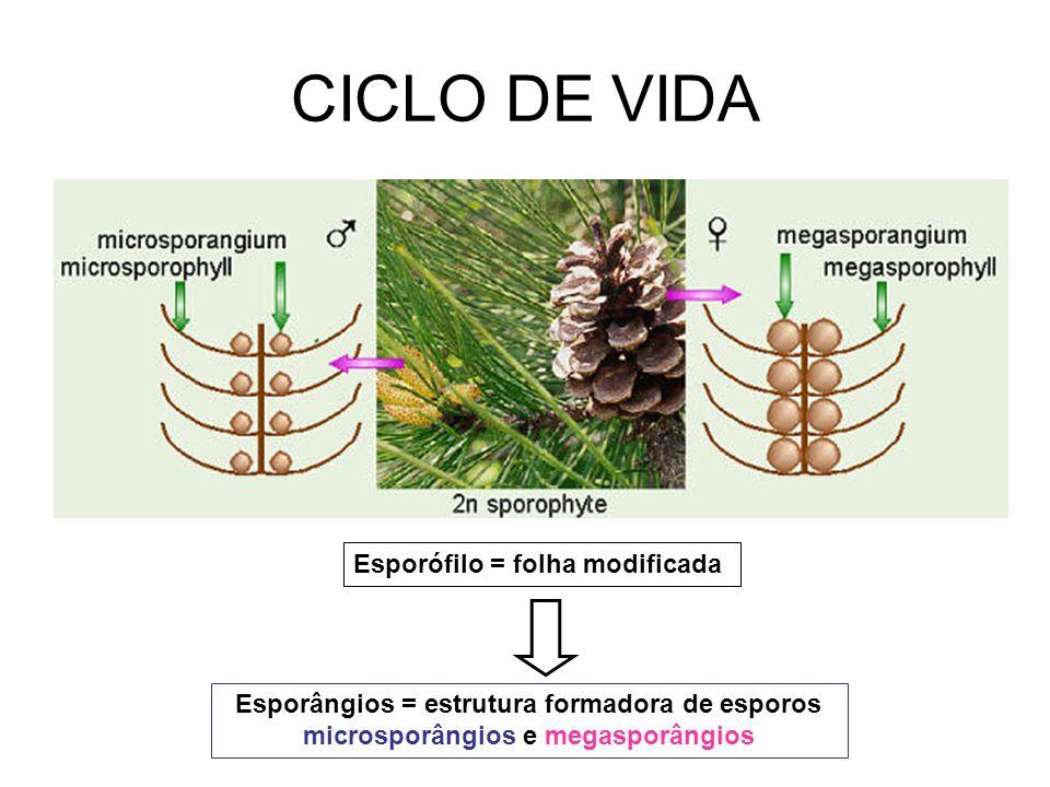 Esporófilo = folha modificada Esporângios = estrutura formadora de esporos microsporângios e megasporângios CICLO DE VIDA