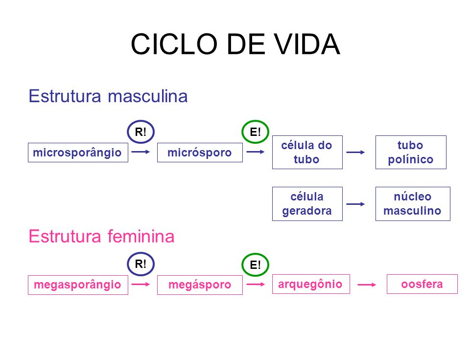 microsporângio Estrutura masculina célula geradora célula do tubo micrósporo Estrutura feminina tubo polínico núcleo masculino megasporângio arquegôni