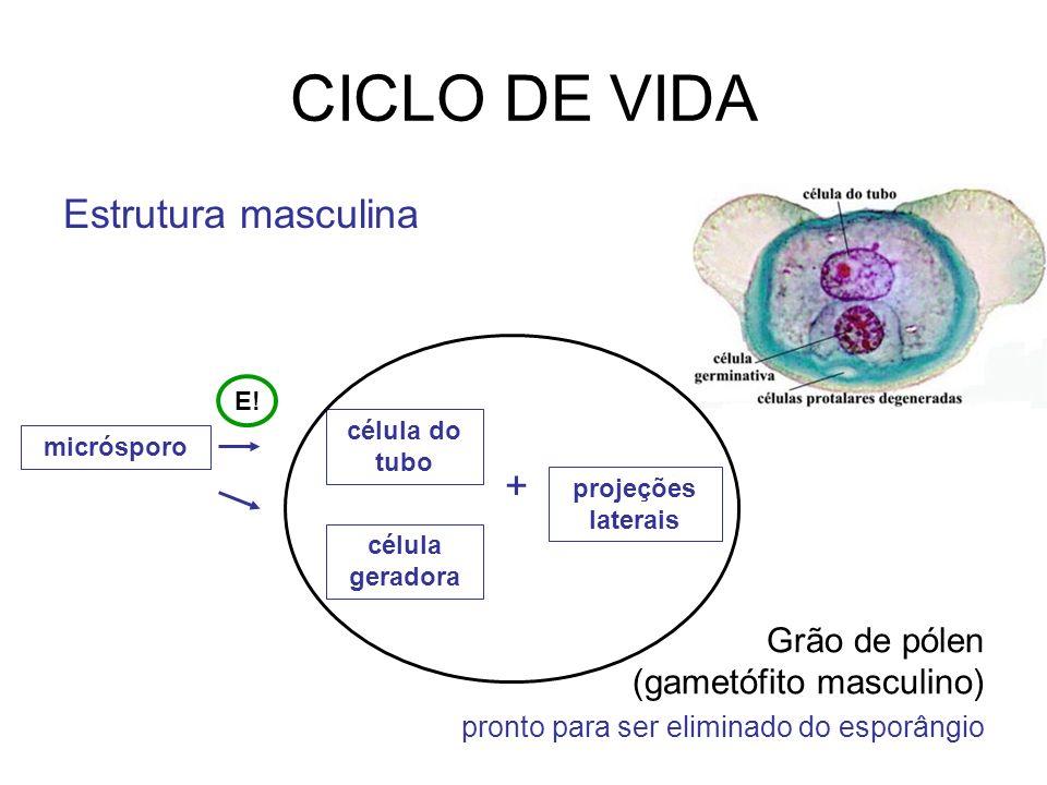 Estrutura masculina célula geradora célula do tubo micrósporo CICLO DE VIDA + Grão de pólen (gametófito masculino) pronto para ser eliminado do esporâ