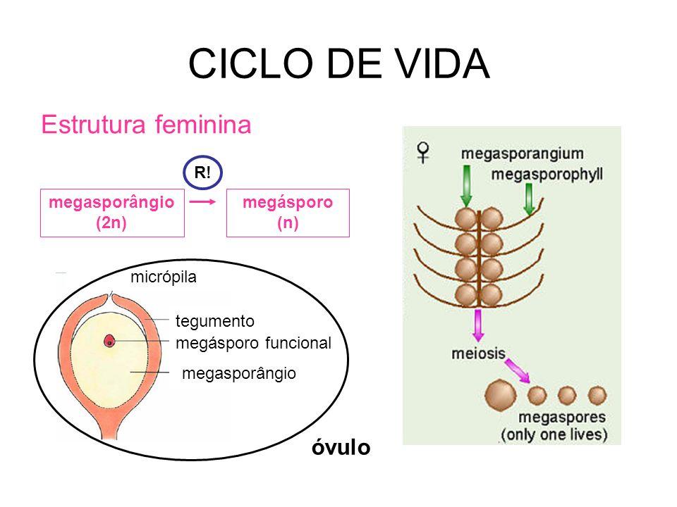 CICLO DE VIDA Estrutura feminina megasporângio (2n) megásporo (n) R! megasporângio megásporo funcional tegumento micrópila óvulo
