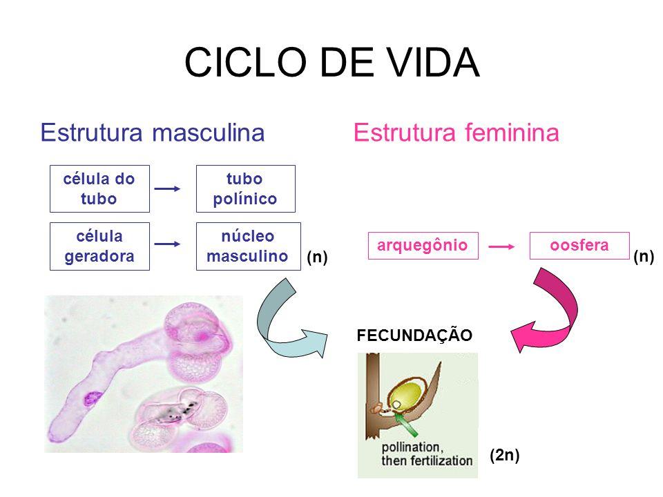 Estrutura masculina célula geradora célula do tubo tubo polínico núcleo masculino Estrutura feminina arquegôniooosfera FECUNDAÇÃO (2n) (n)