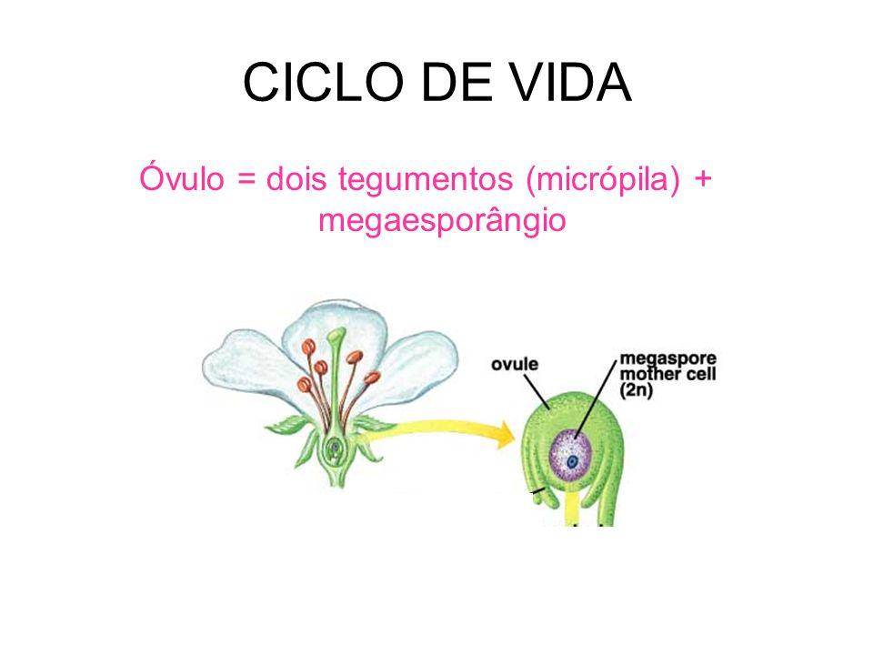CICLO DE VIDA Óvulo = dois tegumentos (micrópila) + megaesporângio