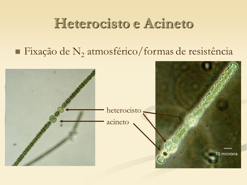 Heterocisto e Acineto Fixação de N 2 atmosférico/formas de resistência heterocisto acineto