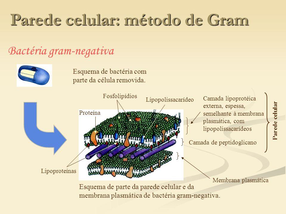 Esquema de bactéria com parte da célula removida. Esquema de parte da parede celular e da membrana plasmática de bactéria gram-negativa. Membrana plas
