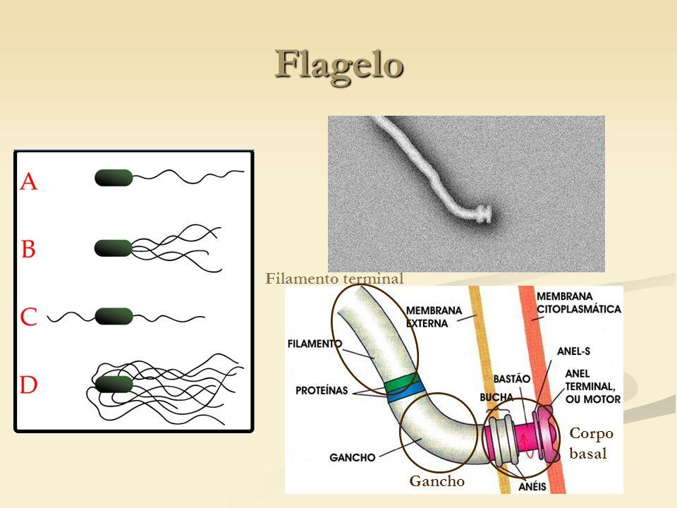 Flagelo Filamento terminal Gancho Corpo basal