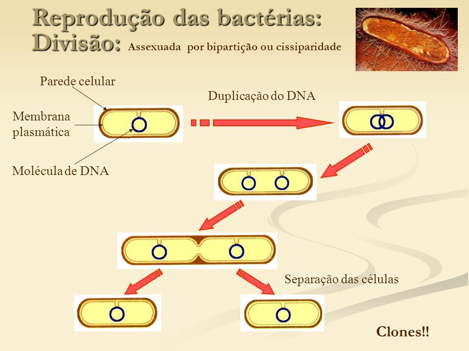 Reprodução das bactérias: Divisão: Reprodução das bactérias: Divisão: Assexuada por bipartição ou cissiparidade Duplicação do DNA Separação das célula
