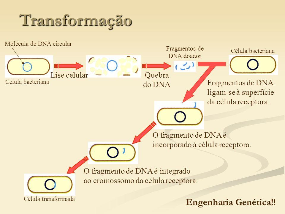 Transformação Célula bacteriana Lise celularQuebra do DNA Fragmentos de DNA doador Célula bacteriana Fragmentos de DNA ligam-se à superfície da célula
