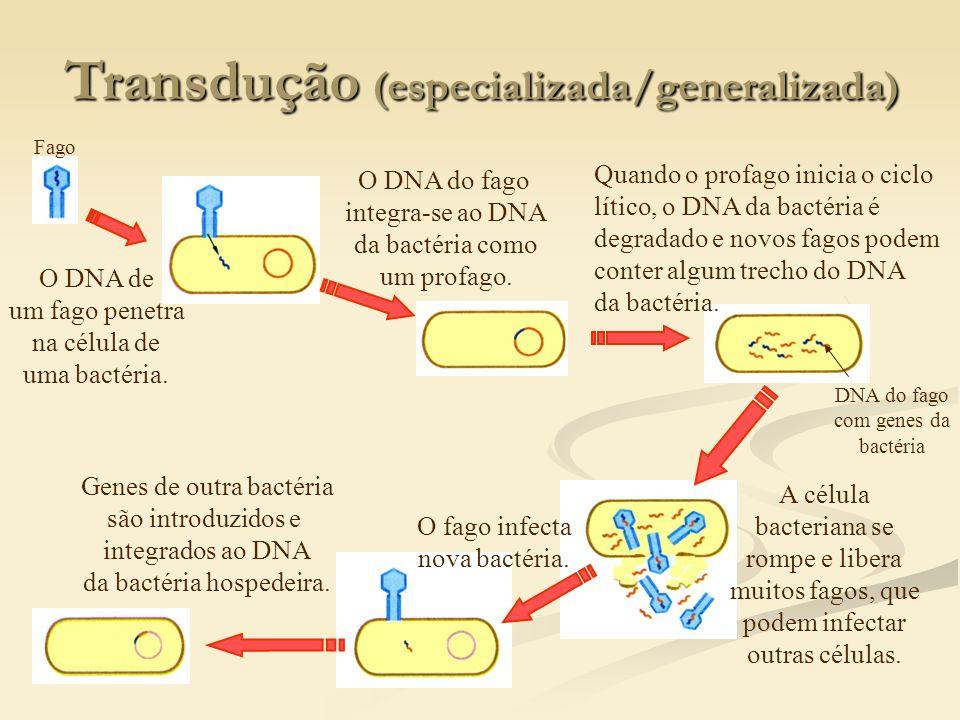 Transdução (especializada/generalizada) Fago O DNA de um fago penetra na célula de uma bactéria. O DNA do fago integra-se ao DNA da bactéria como um p