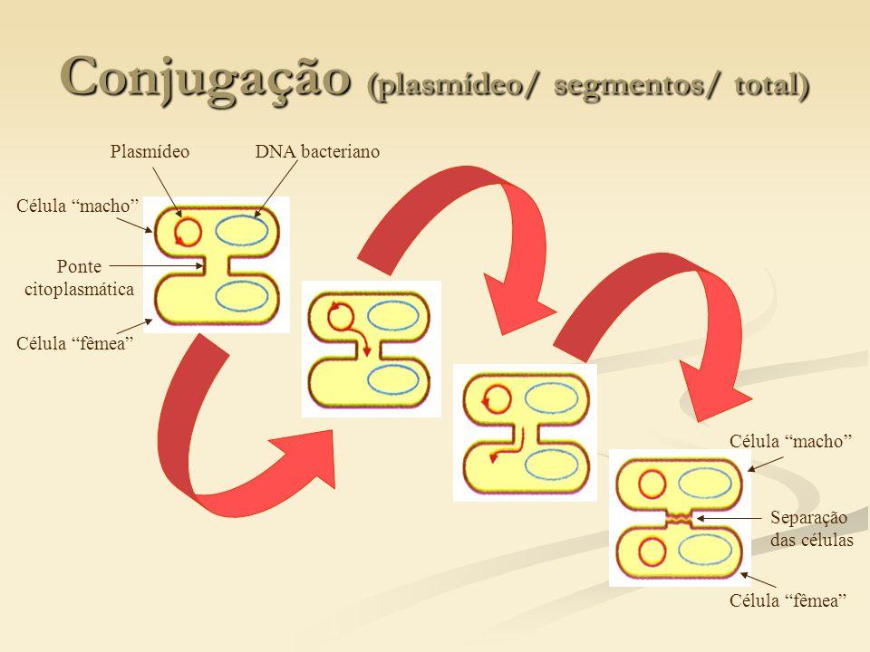 Conjugação (plasmídeo/ segmentos/ total) PlasmídeoDNA bacteriano Ponte citoplasmática Célula fêmea Célula macho Separação das células Célula macho Cél