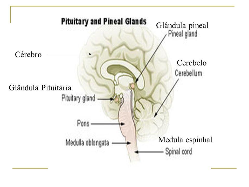 Glândula Pituitária Glândula pineal Medula espinhal Cerebelo Cérebro