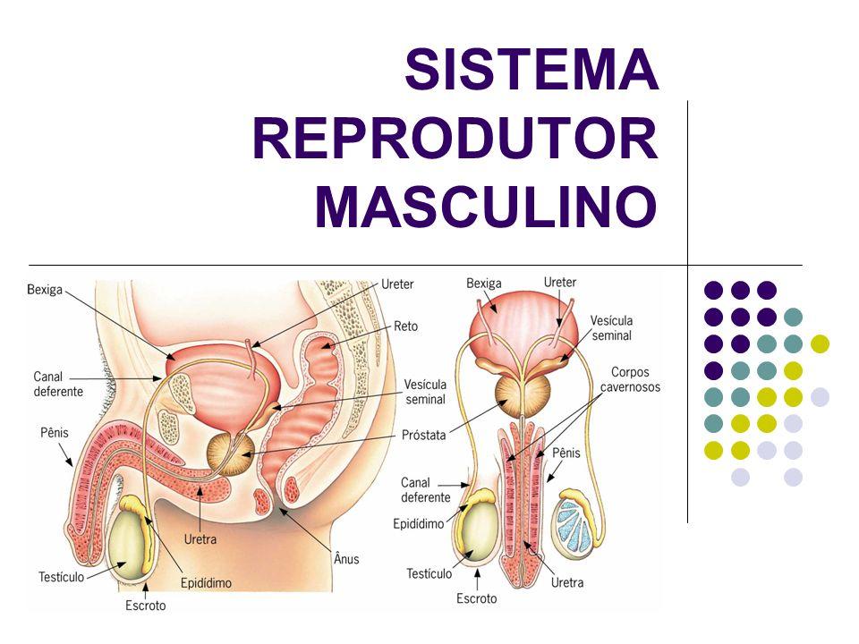Vagina Órgão de cópula feminino; entrada de espermatozóides e saída do bebê (parto normal)