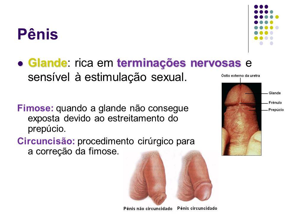 Pênis Glandeterminações nervosas Glande: rica em terminações nervosas e sensível à estimulação sexual.