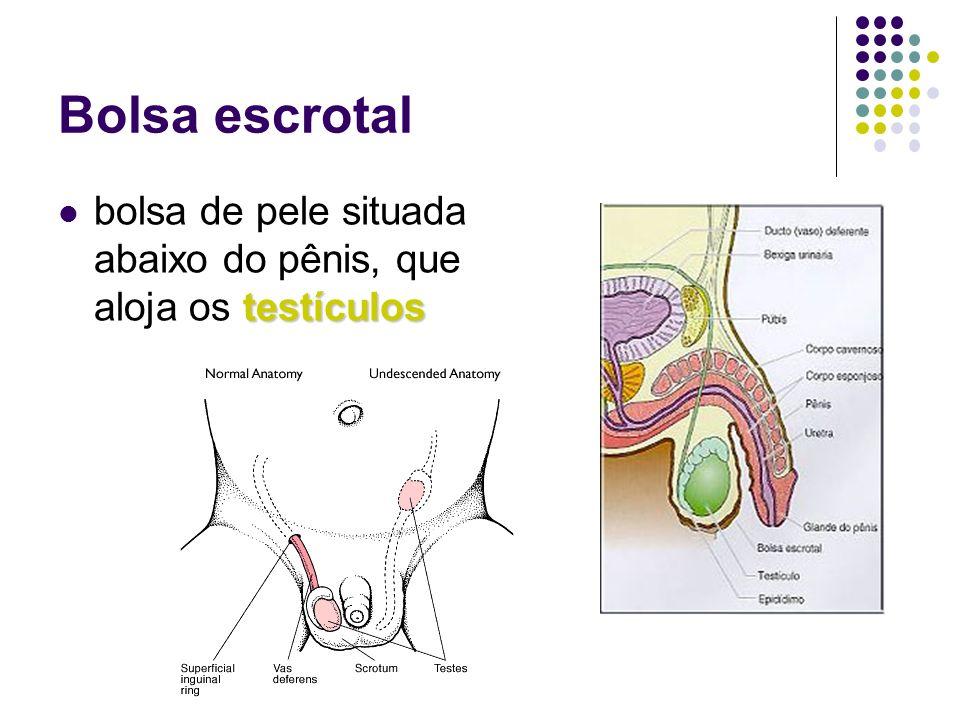 Bolsa escrotal testículos bolsa de pele situada abaixo do pênis, que aloja os testículos