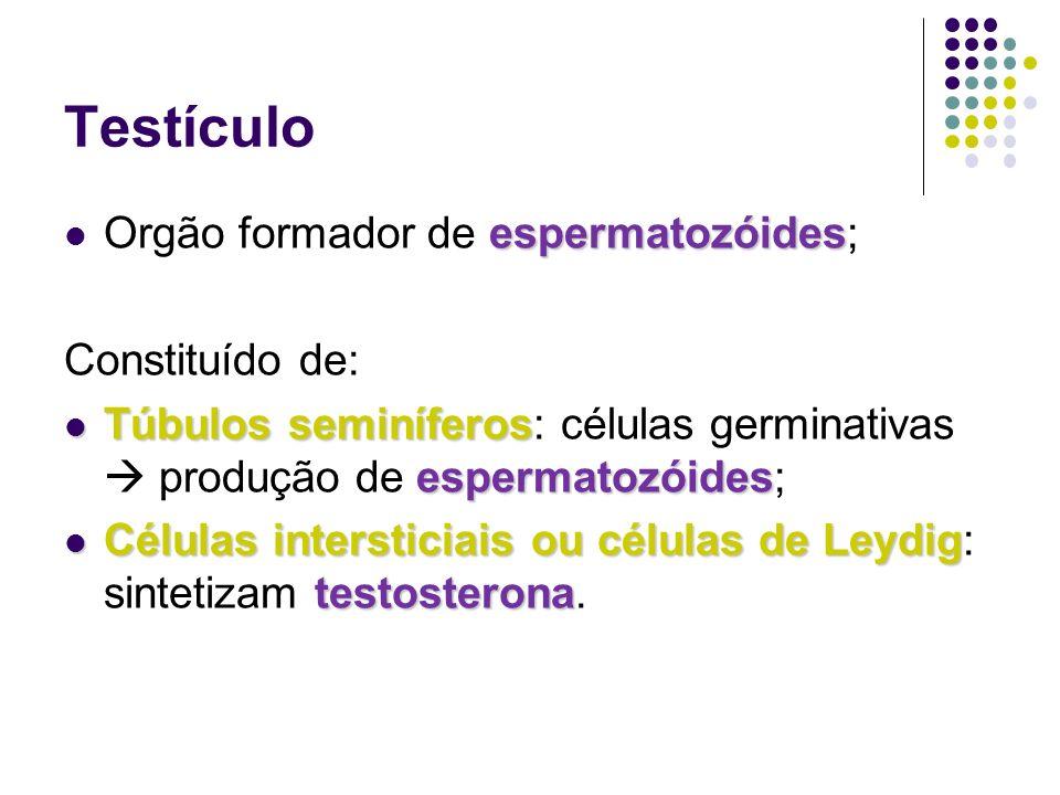 Testículo espermatozóides Orgão formador de espermatozóides; Constituído de: Túbulos seminíferos espermatozóides Túbulos seminíferos: células germinativas produção de espermatozóides; Células intersticiais ou células de Leydig testosterona Células intersticiais ou células de Leydig: sintetizam testosterona.