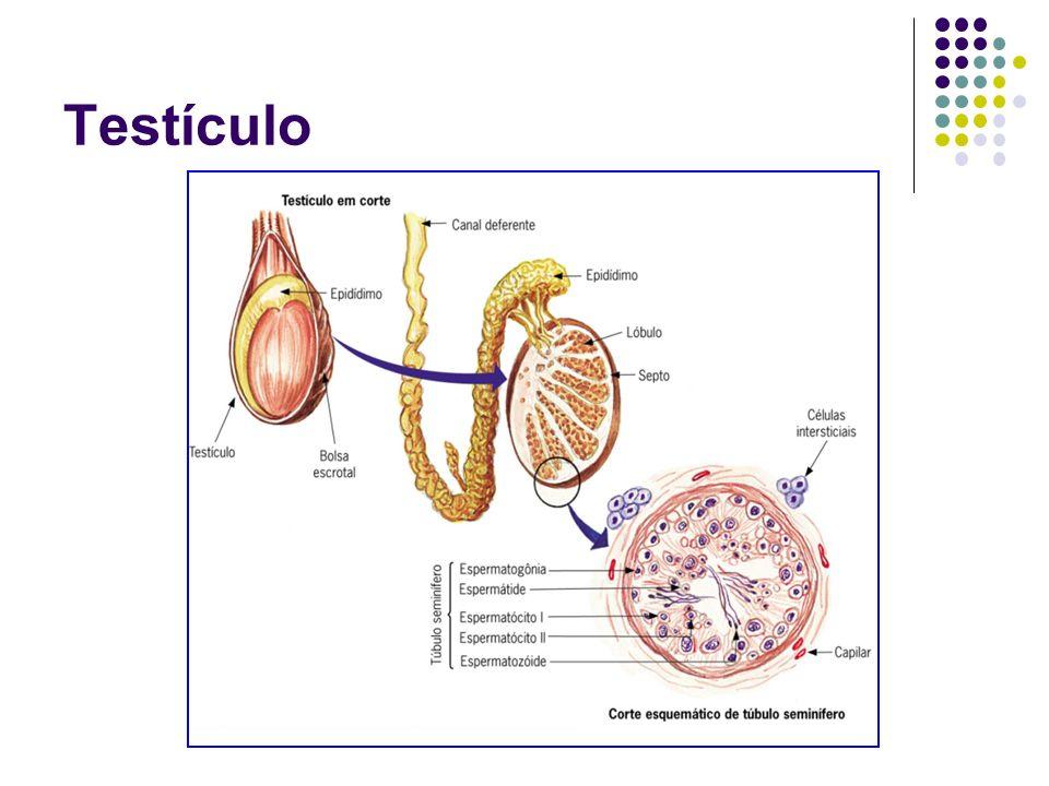 Uretra Duto comum aos sistemas reprodutor e urinário do homem.