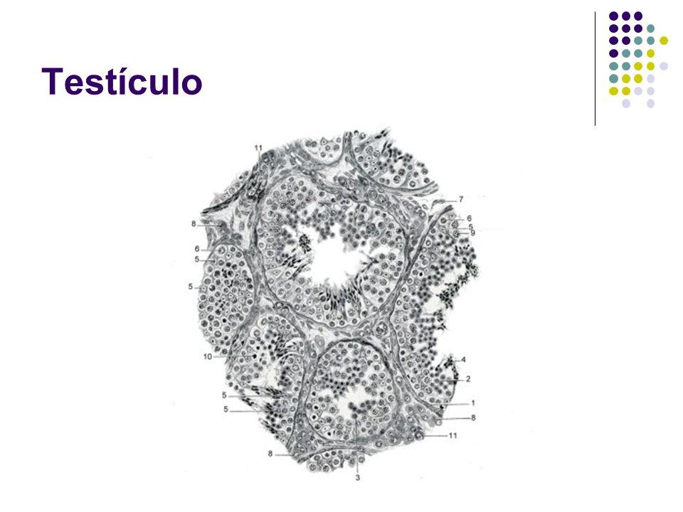 Vesículas Seminais frutose nutre os espermatozóides Fluido seminal: rico em frutose que nutre os espermatozóides; 60% do sêmen Compõe 60% do sêmen.