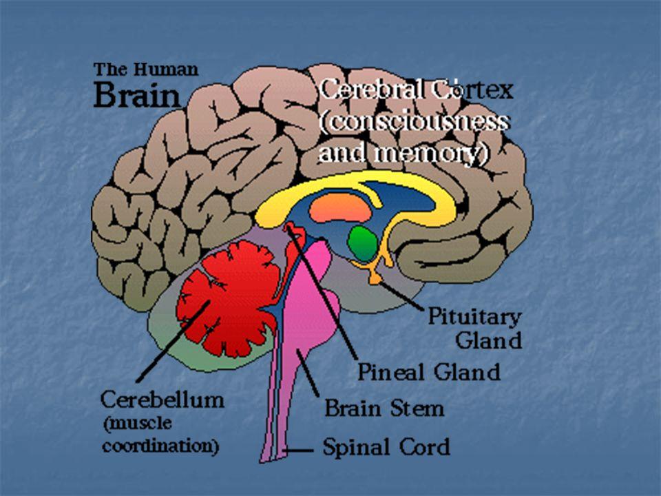 Cérebro Hipócrates (460-379 AC) acreditava que o cérebro era a sede da mente.