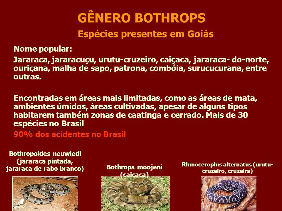 GÊNERO BOTHROPS Bothrops moojeni (caiçaca) Espécies presentes em Goiás Bothropoides neuwiedi (jararaca pintada, jararaca de rabo branco) Rhinocerophis