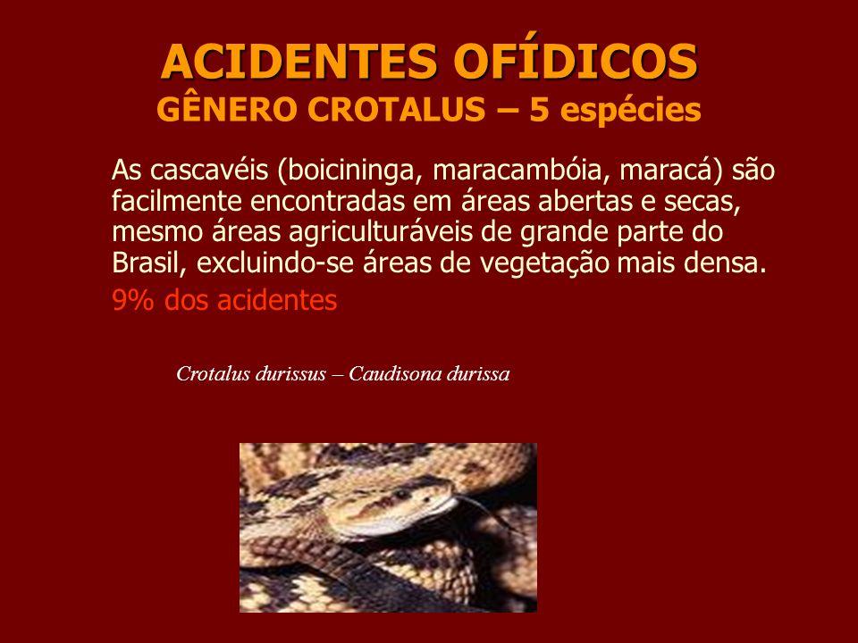 ACIDENTES OFÍDICOS ACIDENTES OFÍDICOS GÊNERO CROTALUS – 5 espécies As cascavéis (boicininga, maracambóia, maracá) são facilmente encontradas em áreas