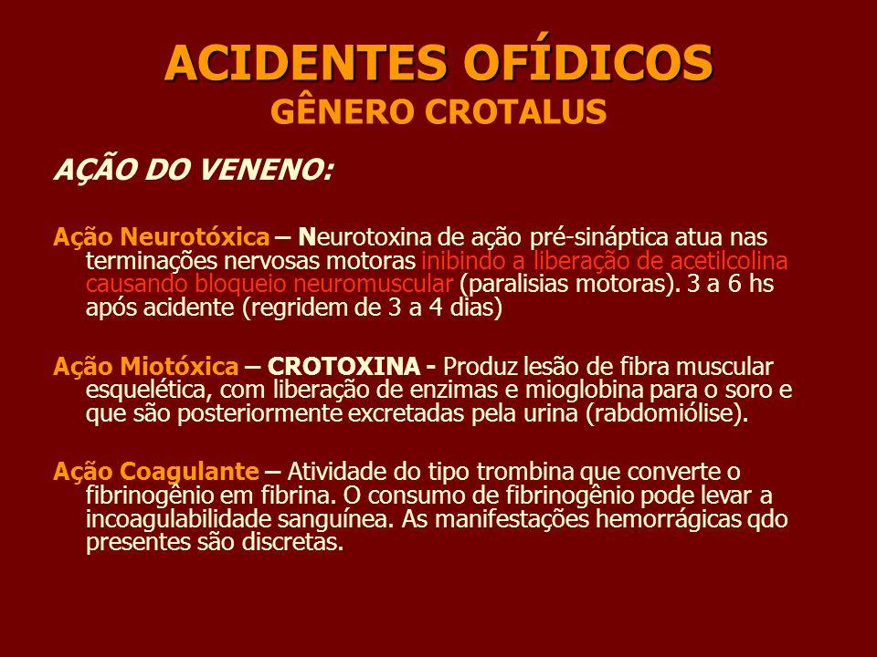 ACIDENTES OFÍDICOS ACIDENTES OFÍDICOS GÊNERO CROTALUS AÇÃO DO VENENO: Ação Neurotóxica – Neurotoxina de ação pré-sináptica atua nas terminações nervos