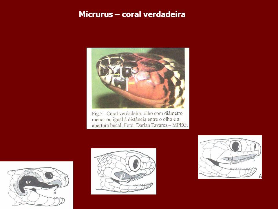 Micrurus – coral verdadeira