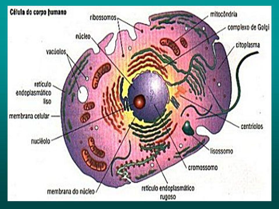 Célula Humana Indiferenciada