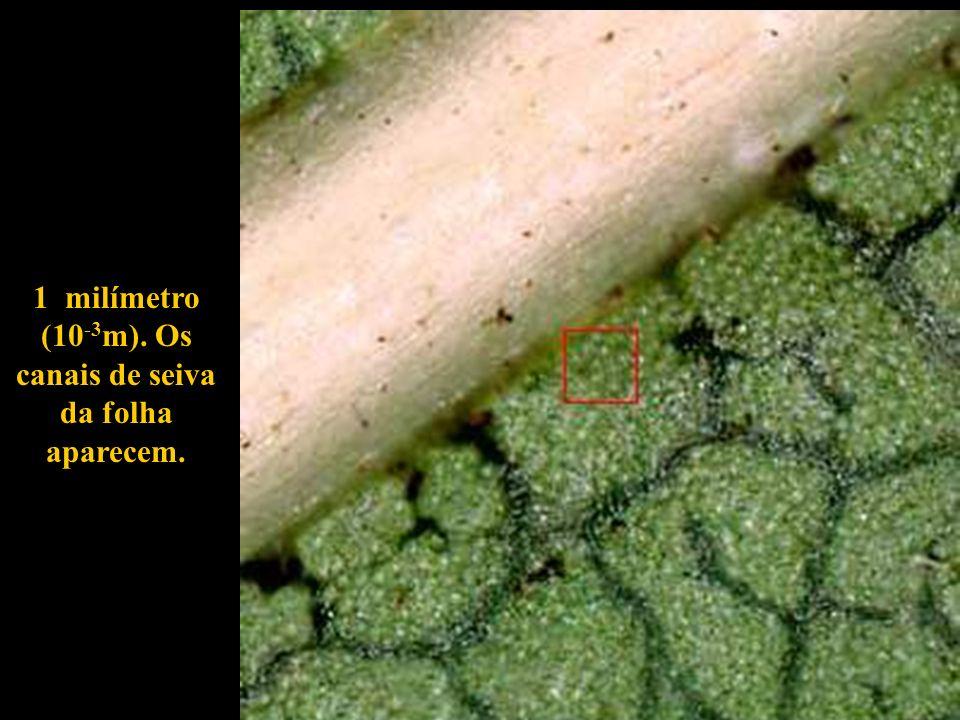 1 milímetro (10 -3 m). Os canais de seiva da folha aparecem.